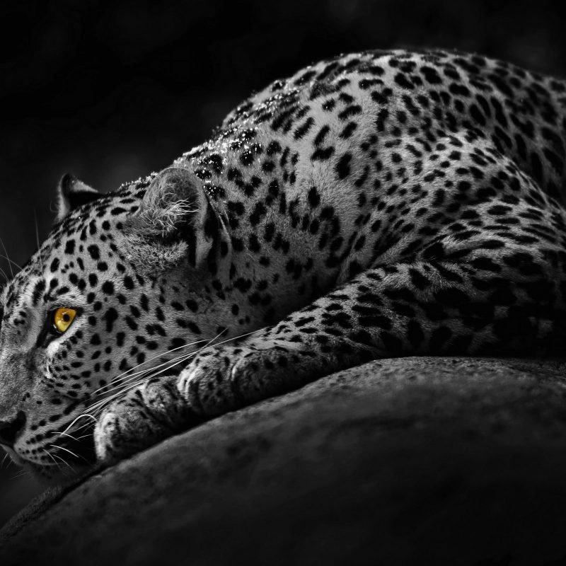 10 Latest Black And White Jaguar Pictures FULL HD 1920×1080 For PC Desktop 2020 free download black and white jaguar desktop hd wallpaper stylishhdwallpapers 800x800