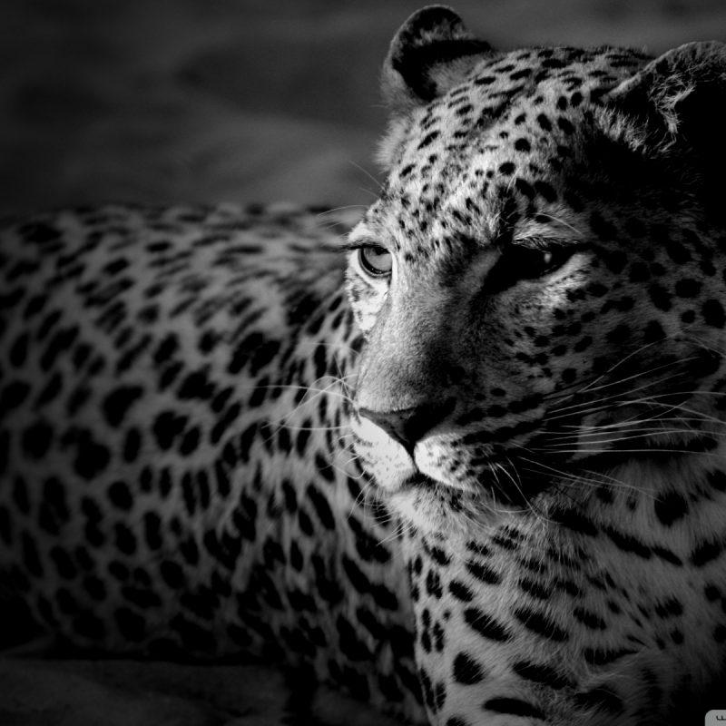 10 Latest Black And White Jaguar Pictures FULL HD 1920×1080 For PC Desktop 2021 free download black and white jaguar e29da4 4k hd desktop wallpaper for 4k ultra hd tv 800x800