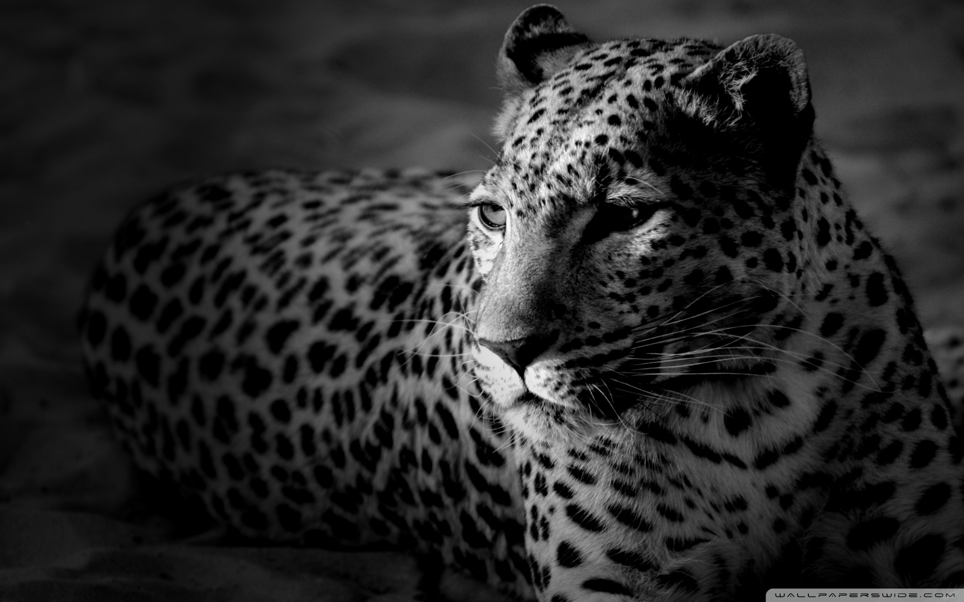 black and white jaguar ❤ 4k hd desktop wallpaper for 4k ultra hd tv