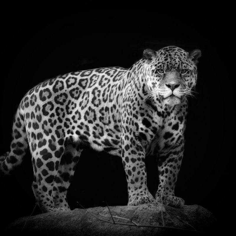 10 Latest Black And White Jaguar Pictures FULL HD 1920×1080 For PC Desktop 2020 free download black and white jaguar hd desktop wallpaper instagram photo 800x800