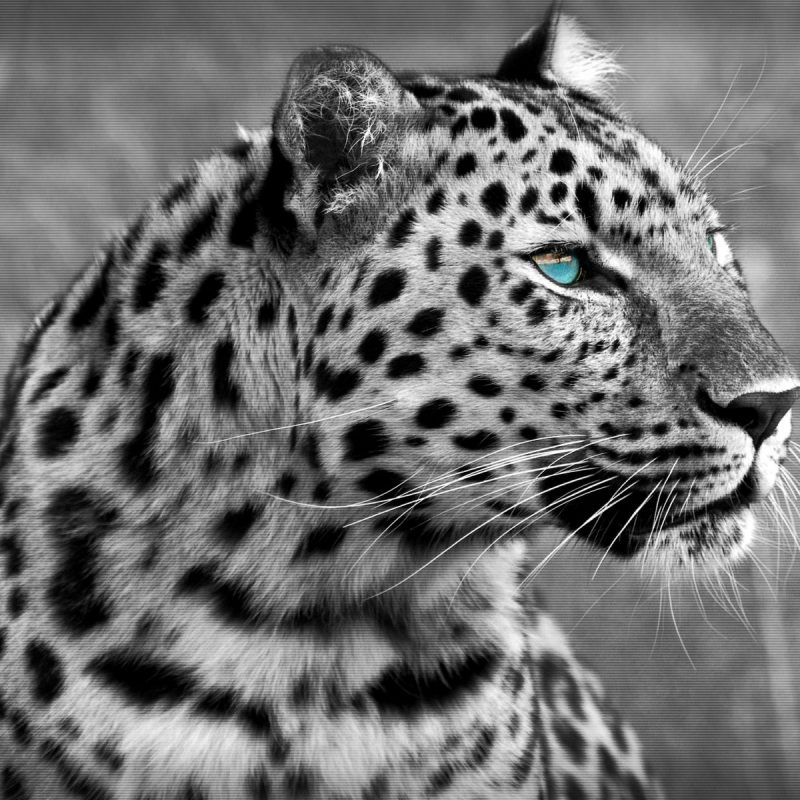 10 Best Black And White Leopard Wallpaper FULL HD 1920×1080 For PC Desktop 2020 free download black and white leopard wallpapers and images wallpapers pictures 800x800