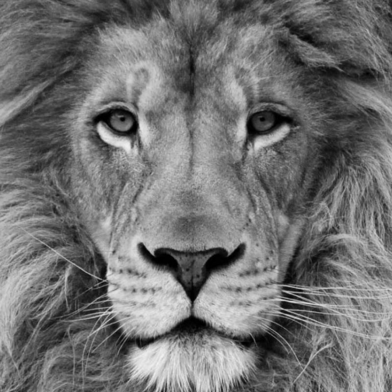 10 Most Popular Black And White Lion Background FULL HD 1080p For PC Desktop 2020 free download black and white lion background wallpaper 19160 baltana 800x800