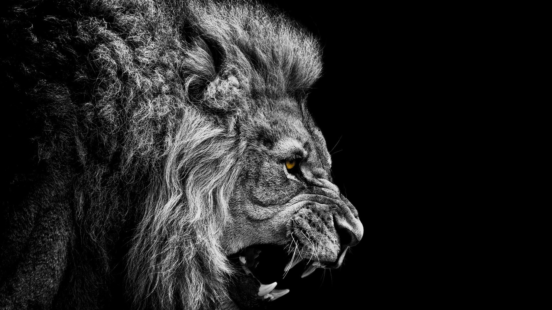black and white lion hd wallpapers 19165 - baltana
