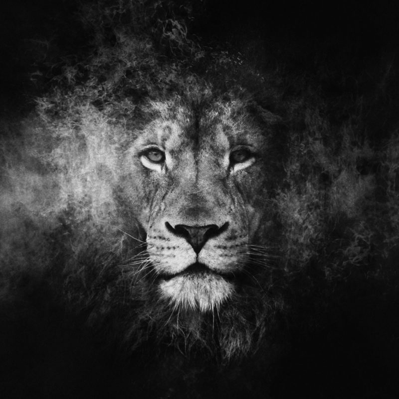 10 Most Popular Black And White Lion Background FULL HD 1080p For PC Desktop 2020 free download black and white lion wallpaper 51 images 800x800