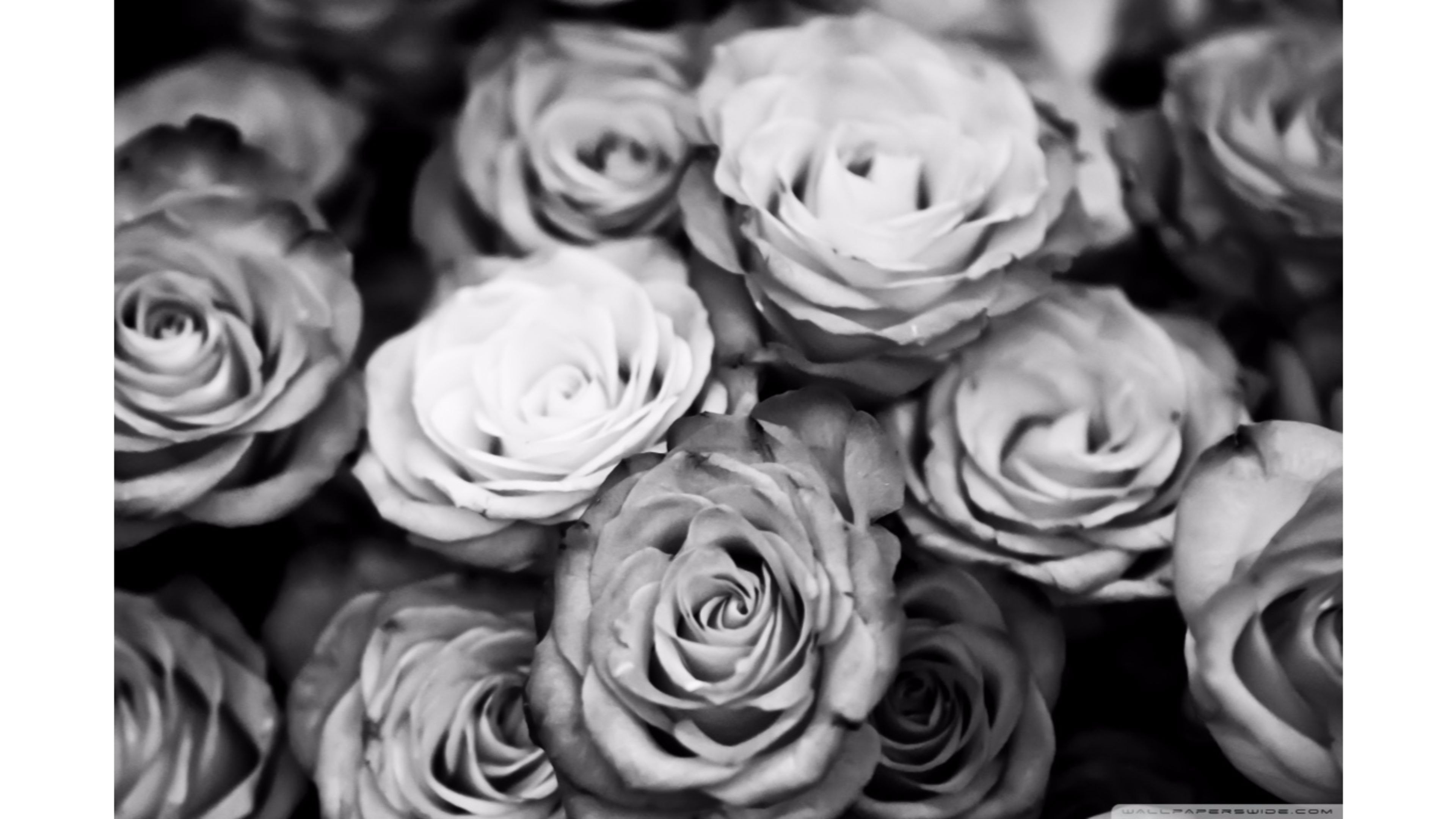 black-and-white-roses-wallpaper-4k (3840×2160)   blooms