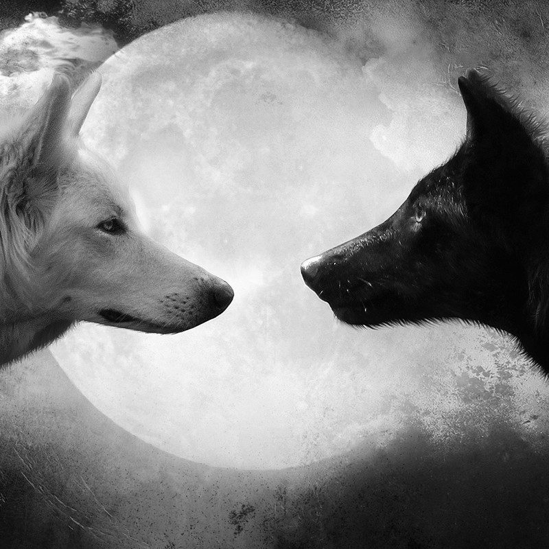 10 Latest Black And White Wolf Wallpaper Full Hd 1080p For