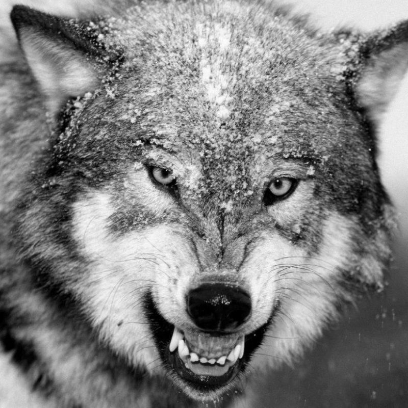 10 Top Black And White Wolves Together Wallpaper FULL HD 1080p For PC Background 2021 free download black and white wolf black and white wolf pictures desktop 800x800