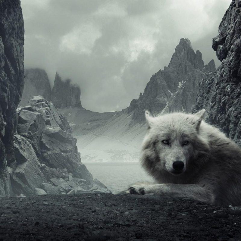 10 Most Popular White Wolf Wallpaper 1920X1080 FULL HD 1920×1080 For PC Background 2021 free download black and white wolf wallpaper wallpaper studio 10 tens of 800x800