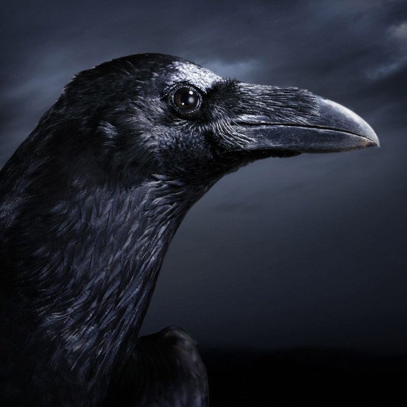 10 Top Black Crow Wallpaper FULL HD 1920×1080 For PC Background 2020 free download black crow wallpaper wallpapersafari 800x800