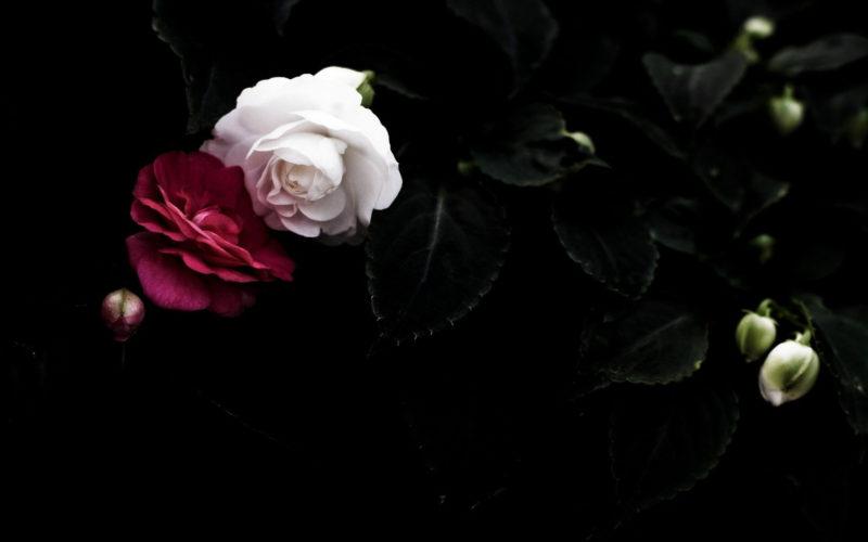 10 Best Black Flower Wallpaper FULL HD 1080p For PC Background 2018 free download black flowers on white background wallpaper soidergi 800x500