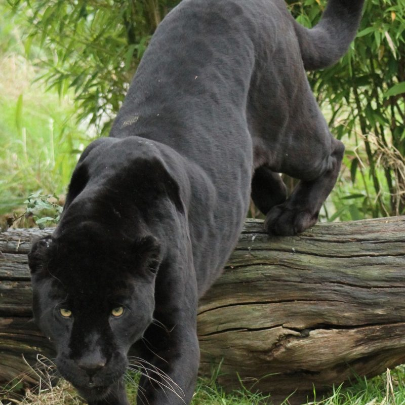 10 Best Pictures Of Black Jaguars FULL HD 1080p For PC Desktop 2018 free download black jaguar black jaguar cat and animal 800x800