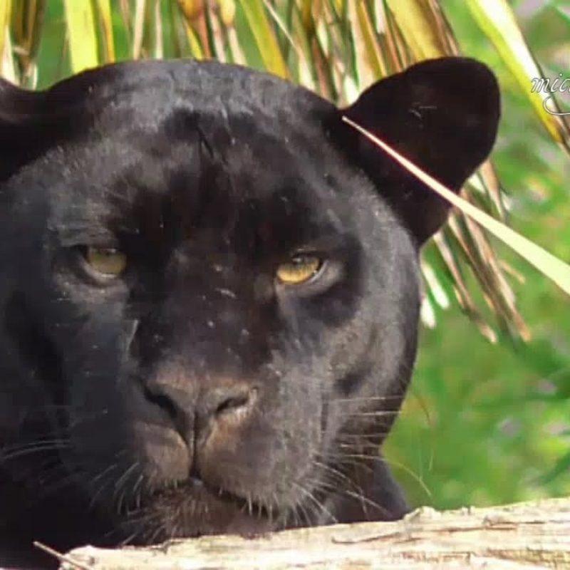 10 Best Pictures Of Black Jaguars FULL HD 1080p For PC Desktop 2018 free download black jaguar death stare youtube 800x800