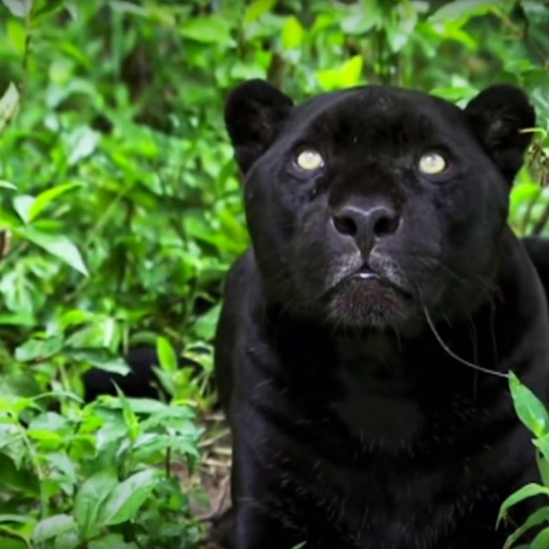 10 Most Popular Image Of Black Jaguar FULL HD 1080p For PC Background 2018 free download black jaguar foundation salesforce 800x800