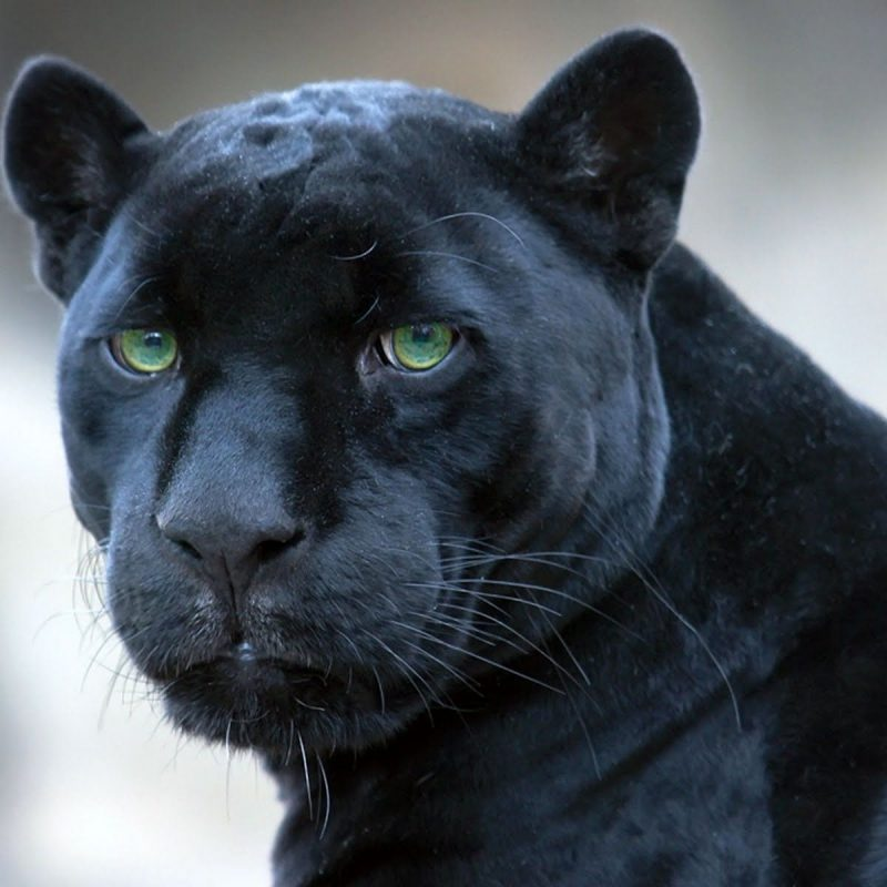 10 Most Popular Image Of Black Jaguar FULL HD 1080p For PC Background 2018 free download black jaguar panthera onca lion tiger jaguar leopard 800x800