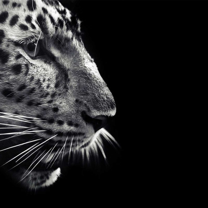 10 Latest Black And White Jaguar Pictures FULL HD 1920×1080 For PC Desktop 2020 free download black jaguar wallpapers wallpaper cave 800x800