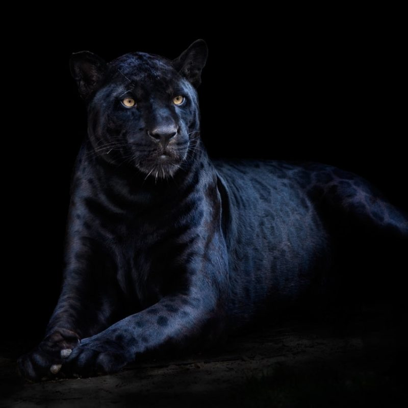 10 Most Popular Image Of Black Jaguar FULL HD 1080p For PC Background 2018 free download black jaguarxyom on deviantart 800x800