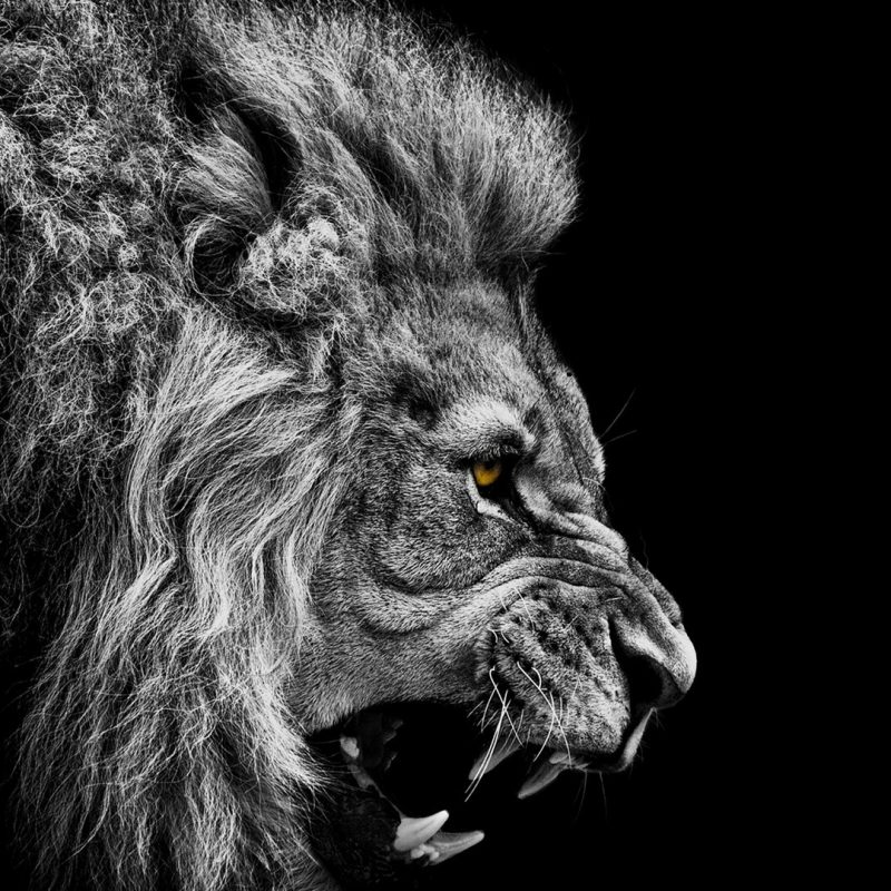 10 Most Popular Angry Lion Wallpaper Black And White FULL HD 1080p For PC Desktop 2020 free download black lion hd wallpapers collection 49 800x800
