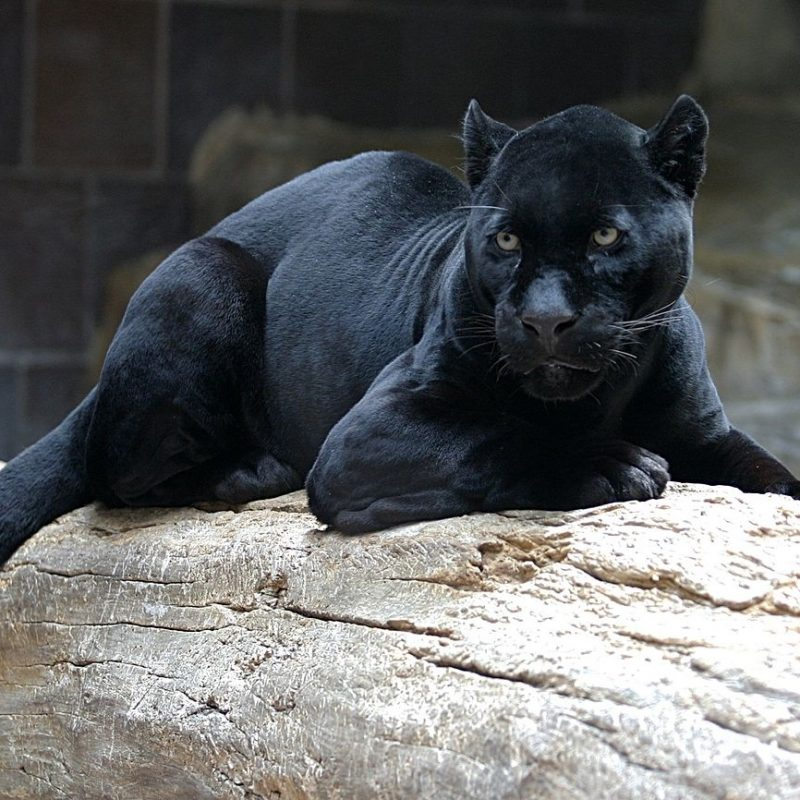 10 Best Pictures Of Black Jaguars FULL HD 1080p For PC Desktop 2018 free download black panther wikipedia 800x800