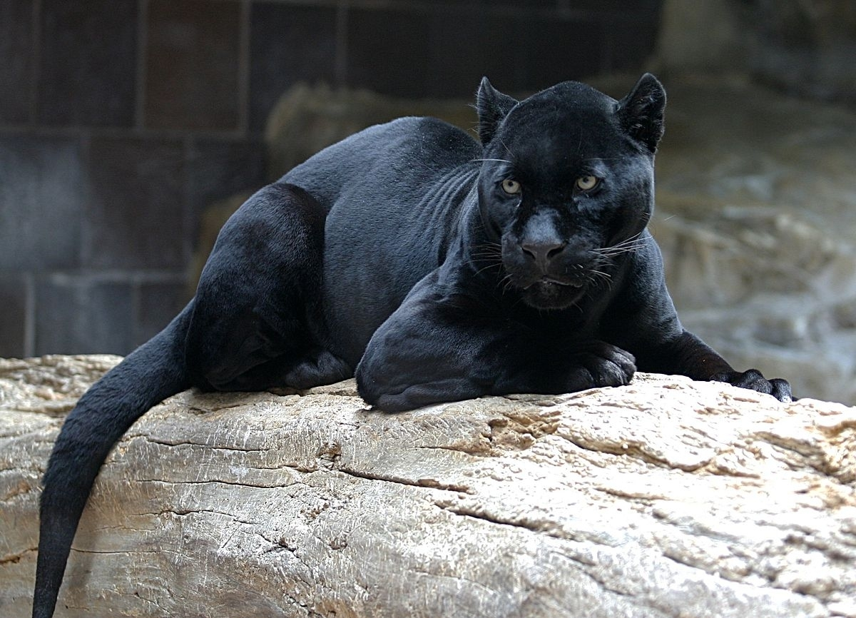 black panther - wikipedia