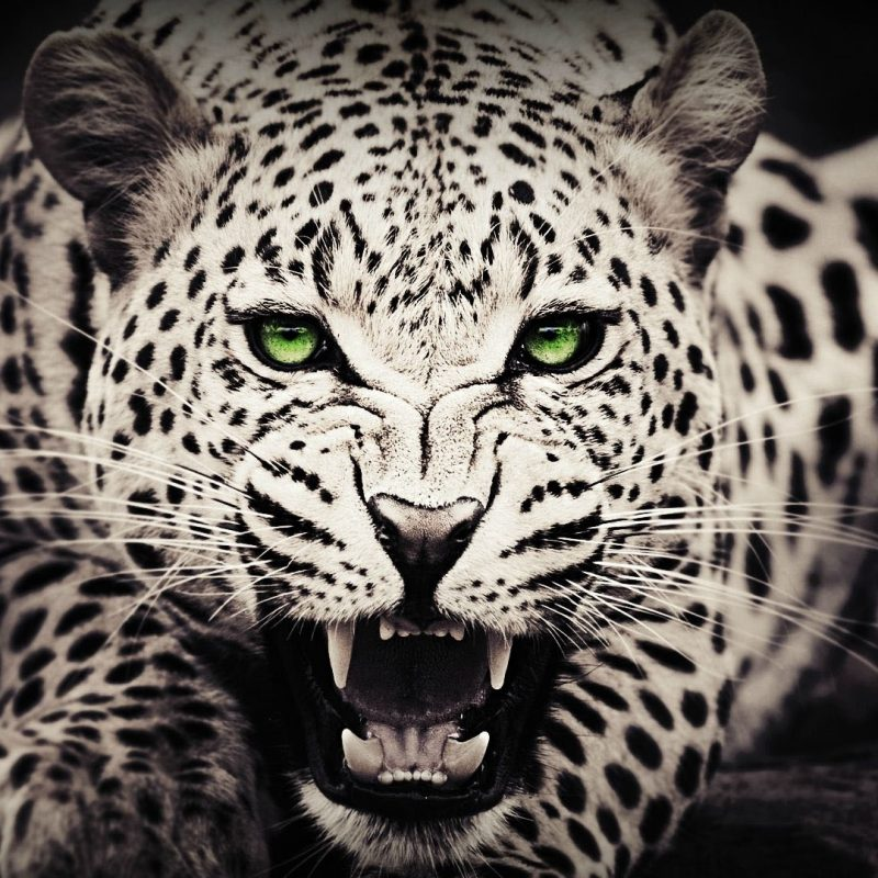 10 Best Black And White Leopard Wallpaper FULL HD 1920×1080 For PC Desktop 2020 free download black white cheetah wallpaper animal wallpaper pinterest 800x800