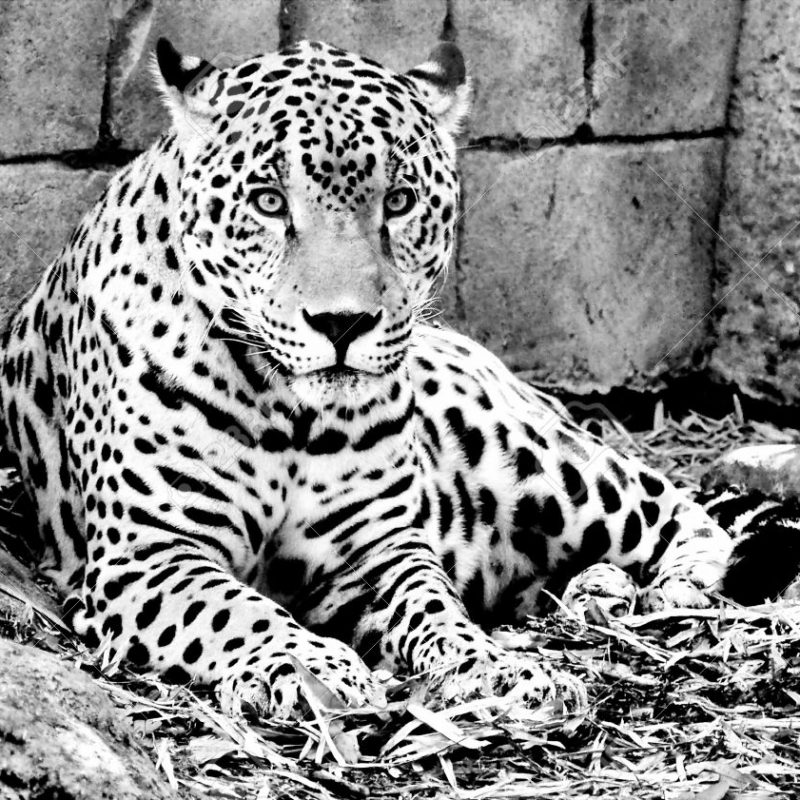 10 Latest Black And White Jaguar Pictures FULL HD 1920×1080 For PC Desktop 2020 free download black white jaguar stock photo picture and royalty free image 800x800