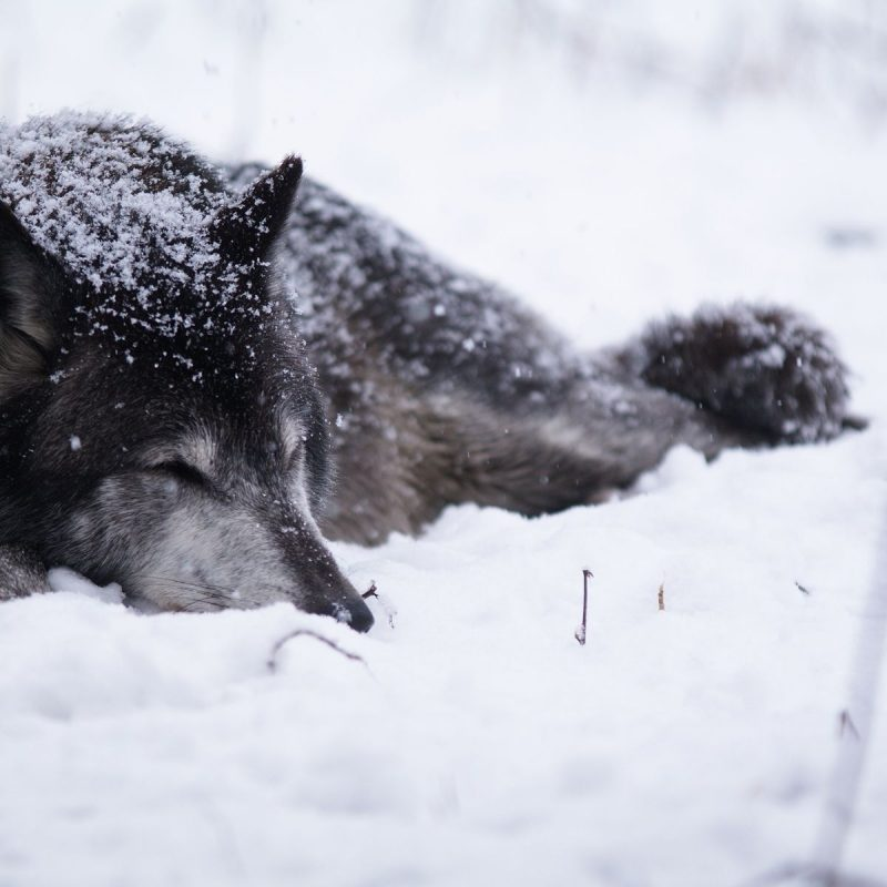 10 Latest Wolves In Snow Wallpaper FULL HD 1920×1080 For PC Background 2018 free download black wolf sleeping in the snow wallpaper animal wallpapers 53377 800x800