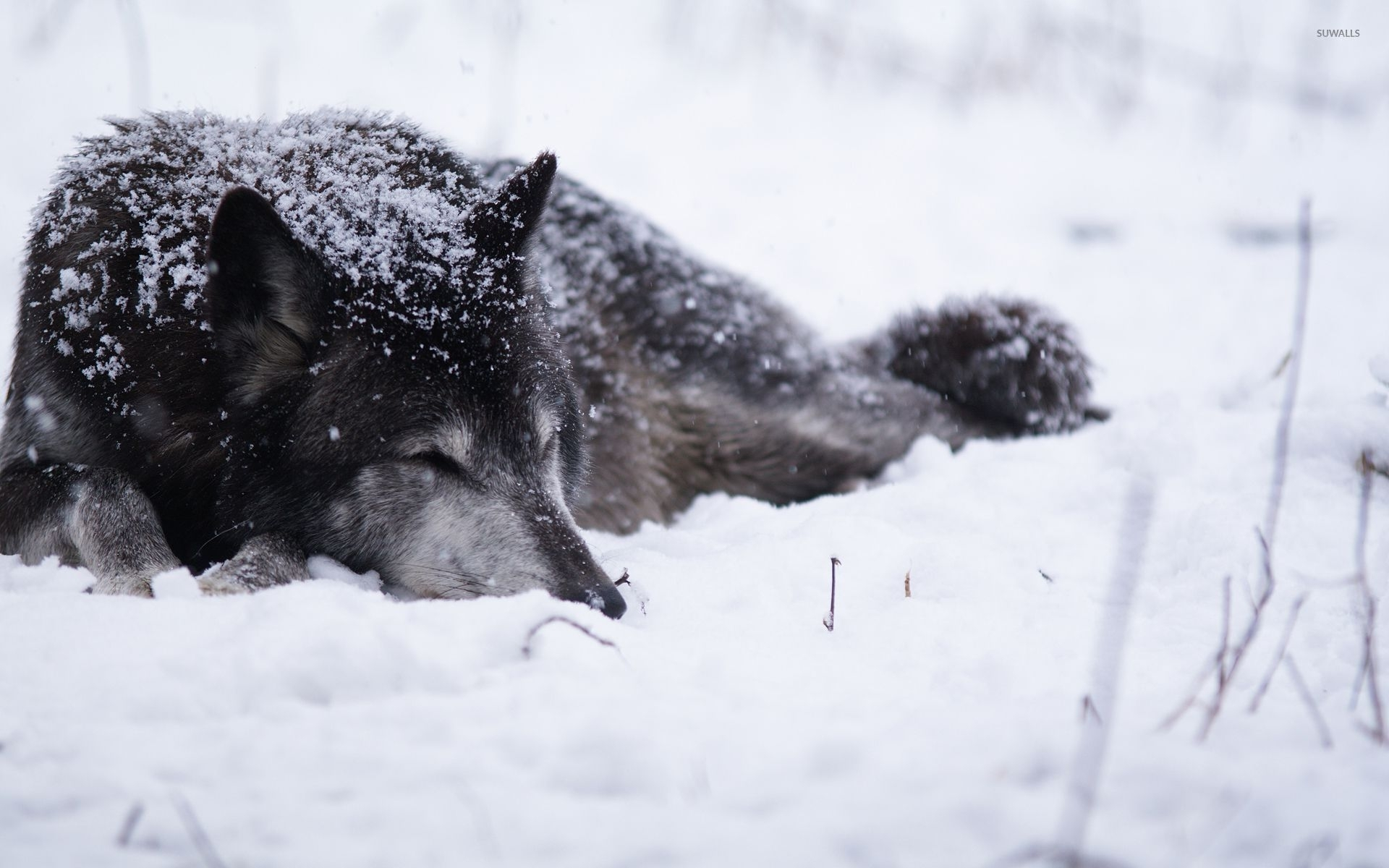 black wolf sleeping in the snow wallpaper - animal wallpapers - #53377