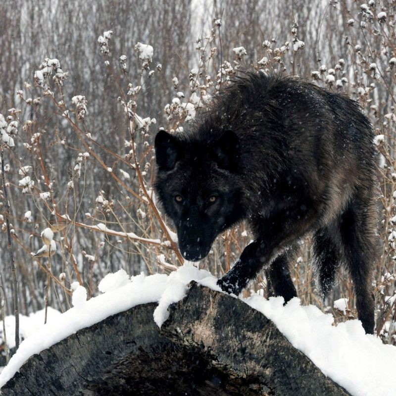 10 New Black Wolf Wallpaper 1920X1080 FULL HD 1920×1080 For PC Desktop 2021 free download black wolf wallpaper 19720 800x800