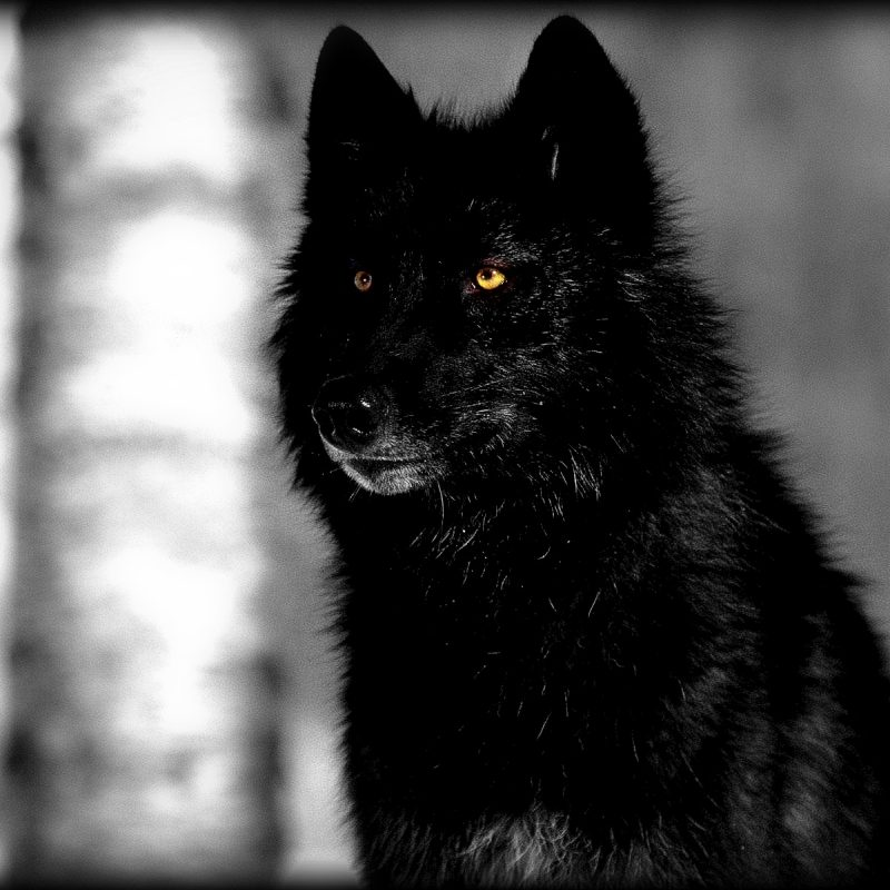 10 New Dark Wolf Wallpaper Hd FULL HD 1920×1080 For PC Desktop 2021 free download black wolf wallpapers high quality download free 800x800