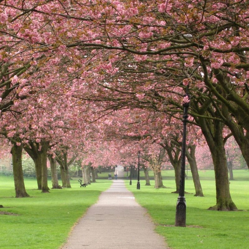 10 Latest Spring Trees Wallpaper Desktop FULL HD 1080p For PC Desktop 2020 free download blossoming spring trees spring has sprung pinterest spring 800x800