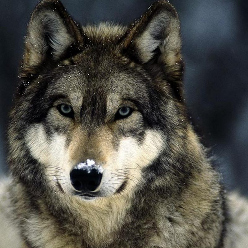 10 Most Popular Grey Wolf Wallpaper 1920X1080 FULL HD 1920×1080 For PC Desktop 2018 free download blue eyes snow landscapes grey wolf wolves wallpaper allwallpaper 800x800