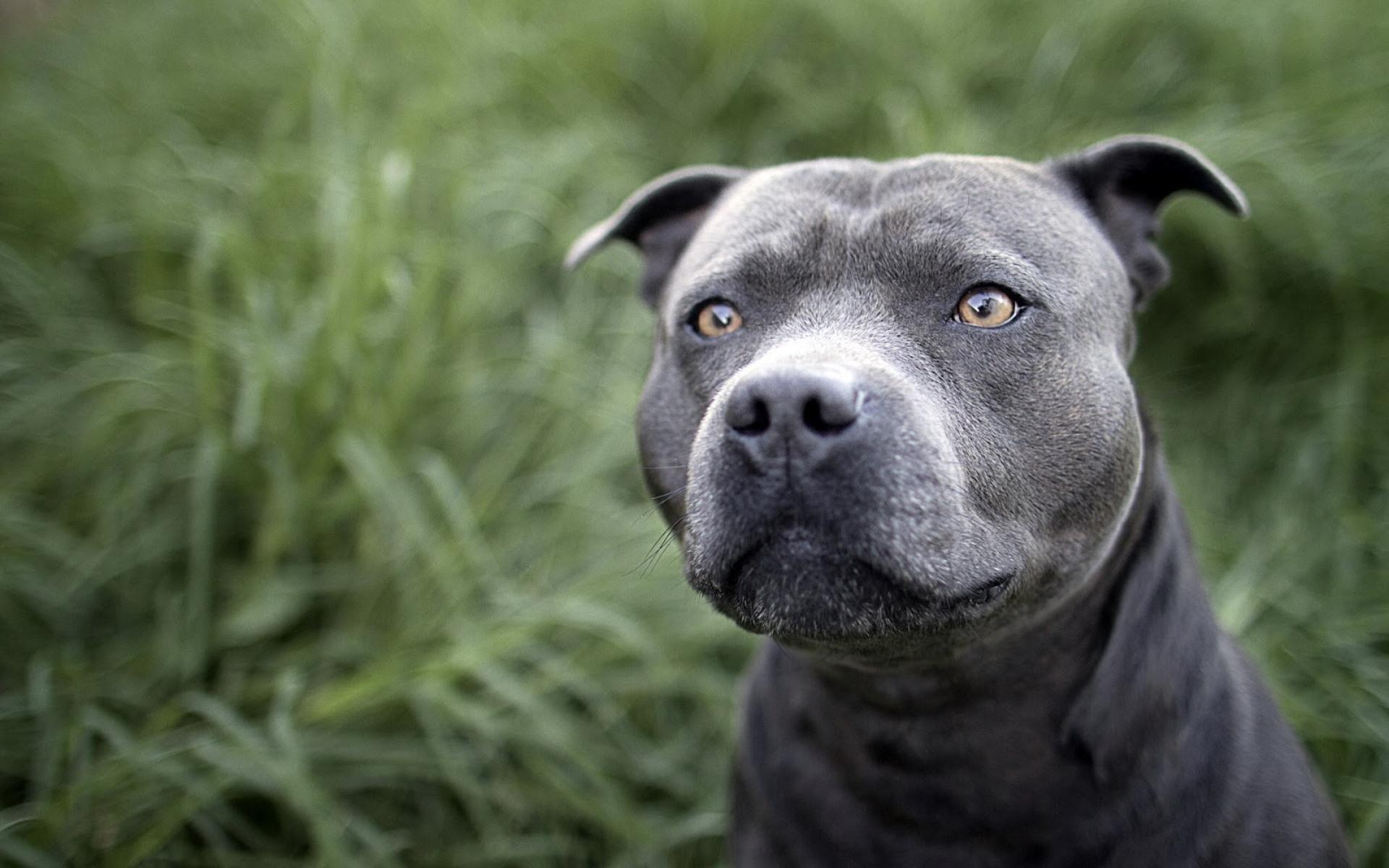blue nose pitbull puppy wallpaper | puppy wallpaper