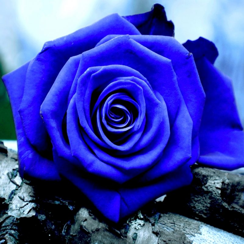 10 New Blue Roses Images Free FULL HD 1920×1080 For PC Background 2020 free download blue rose backgrounds 4183 hdwarena 800x800