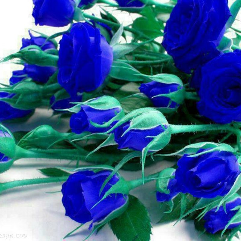 10 New Blue Roses Images Free FULL HD 1920×1080 For PC Background 2020 free download blue rose flowers 2 hd wallpaper hdflowerwallpaper 800x800
