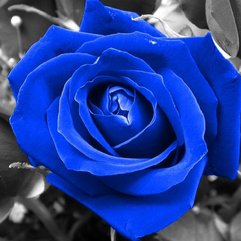 10 New Blue Roses Images Free FULL HD 1920×1080 For PC Background 2020 free download blue rose flowers nature roses selective coloring walldevil 800x800