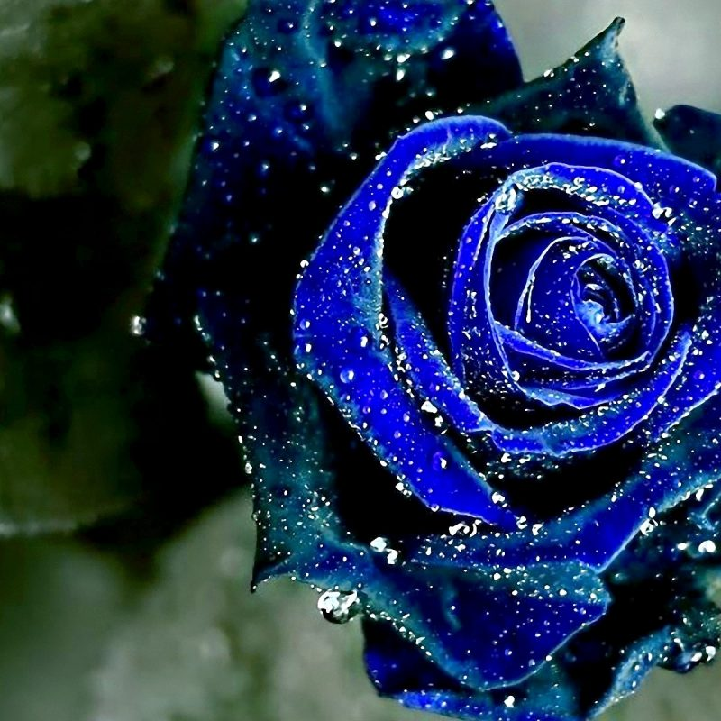 10 New Blue Rose Wallpaper Hd FULL HD 1080p For PC Desktop 2018 free download blue rose hd desktop wallpapers 7wallpapers 800x800