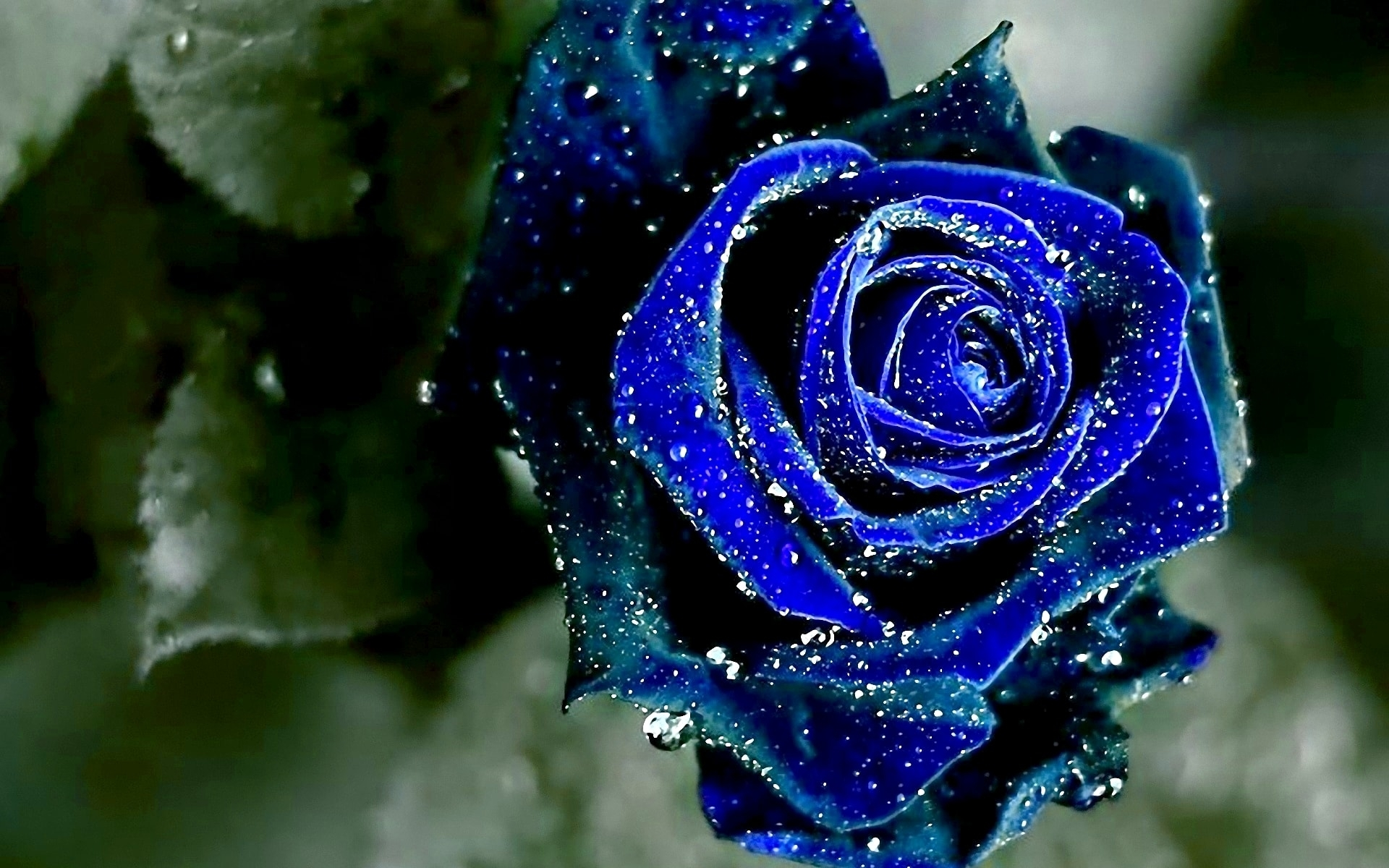 blue rose hd desktop wallpapers | 7wallpapers
