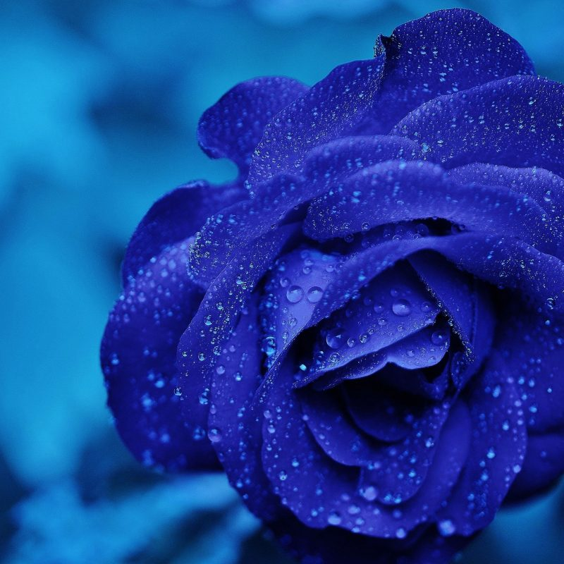 10 New Blue Rose Wallpaper Hd FULL HD 1080p For PC Desktop 2018 free download blue rose macro e29da4 4k hd desktop wallpaper for 4k ultra hd tv e280a2 wide 800x800