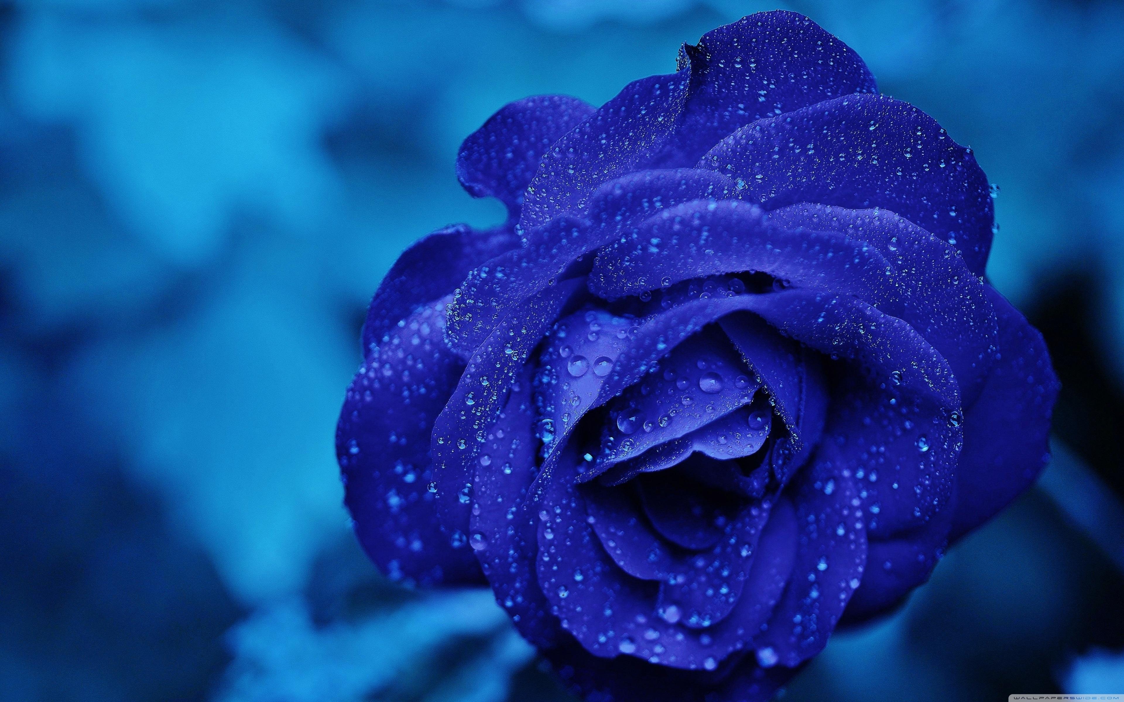 blue rose macro ❤ 4k hd desktop wallpaper for 4k ultra hd tv • wide
