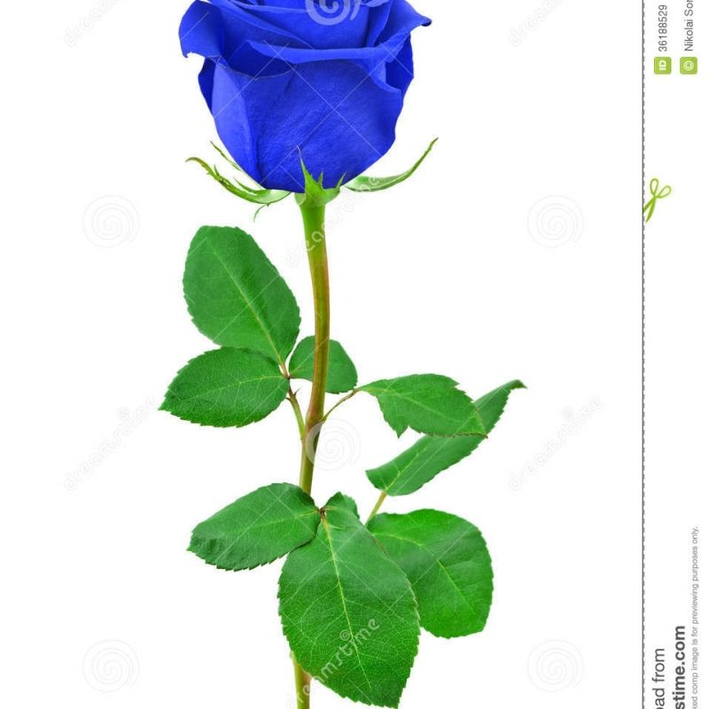 10 New Blue Roses Images Free FULL HD 1920×1080 For PC Background 2020 free download blue rose stock image image of flower single background 36188529 800x800