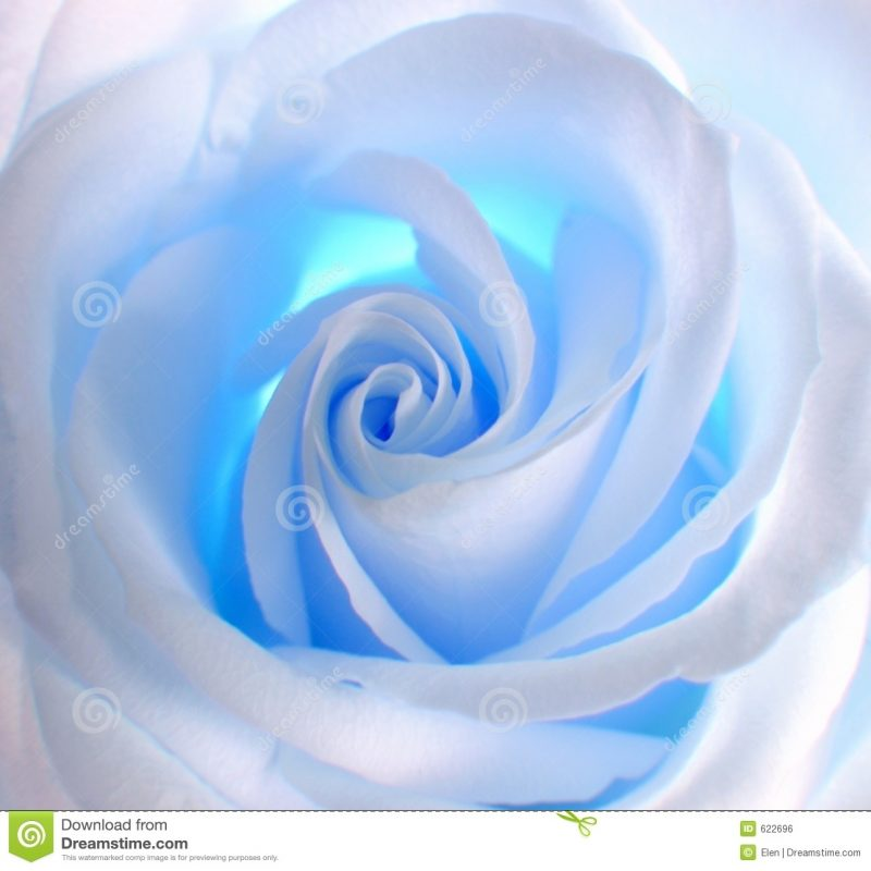 10 New Blue Roses Images Free FULL HD 1920×1080 For PC Background 2020 free download blue rose stock photos royalty free images 800x800