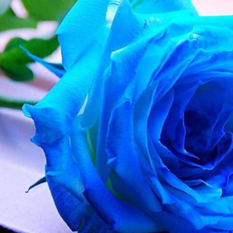 10 New Blue Rose Wallpaper Hd FULL HD 1080p For PC Desktop 2018 free download blue rose wallpaper hd backgrounds media file pixelstalk 800x800