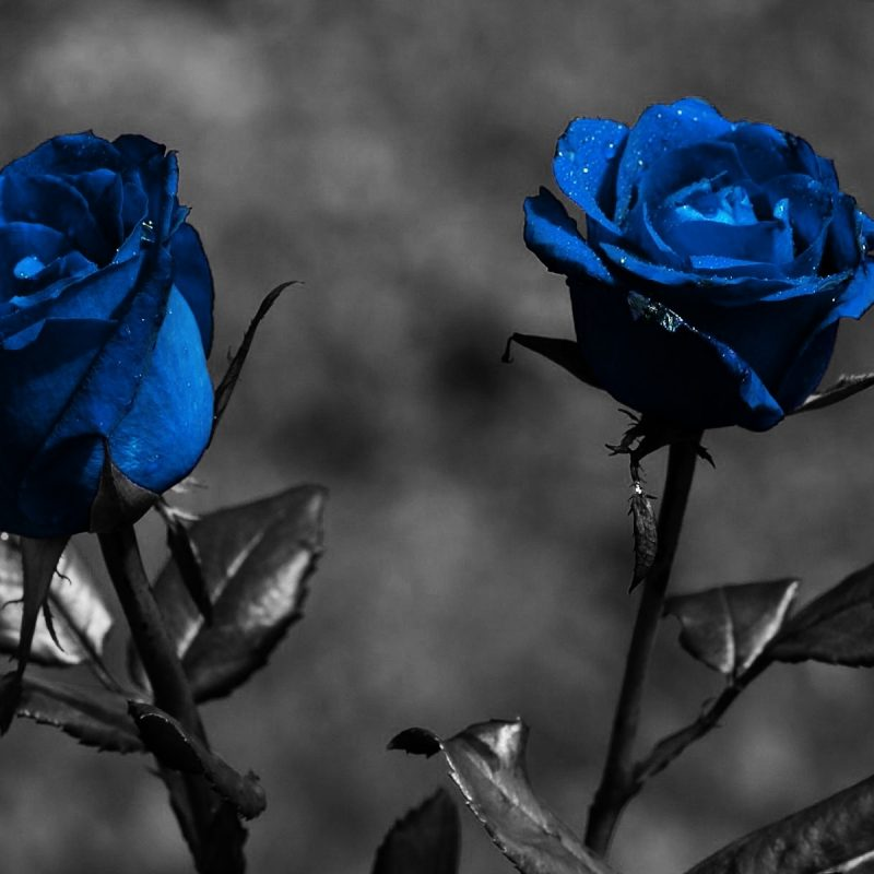 10 New Blue Rose Wallpaper Hd FULL HD 1080p For PC Desktop 2018 free download blue rose wallpaper hd pixelstalk 800x800