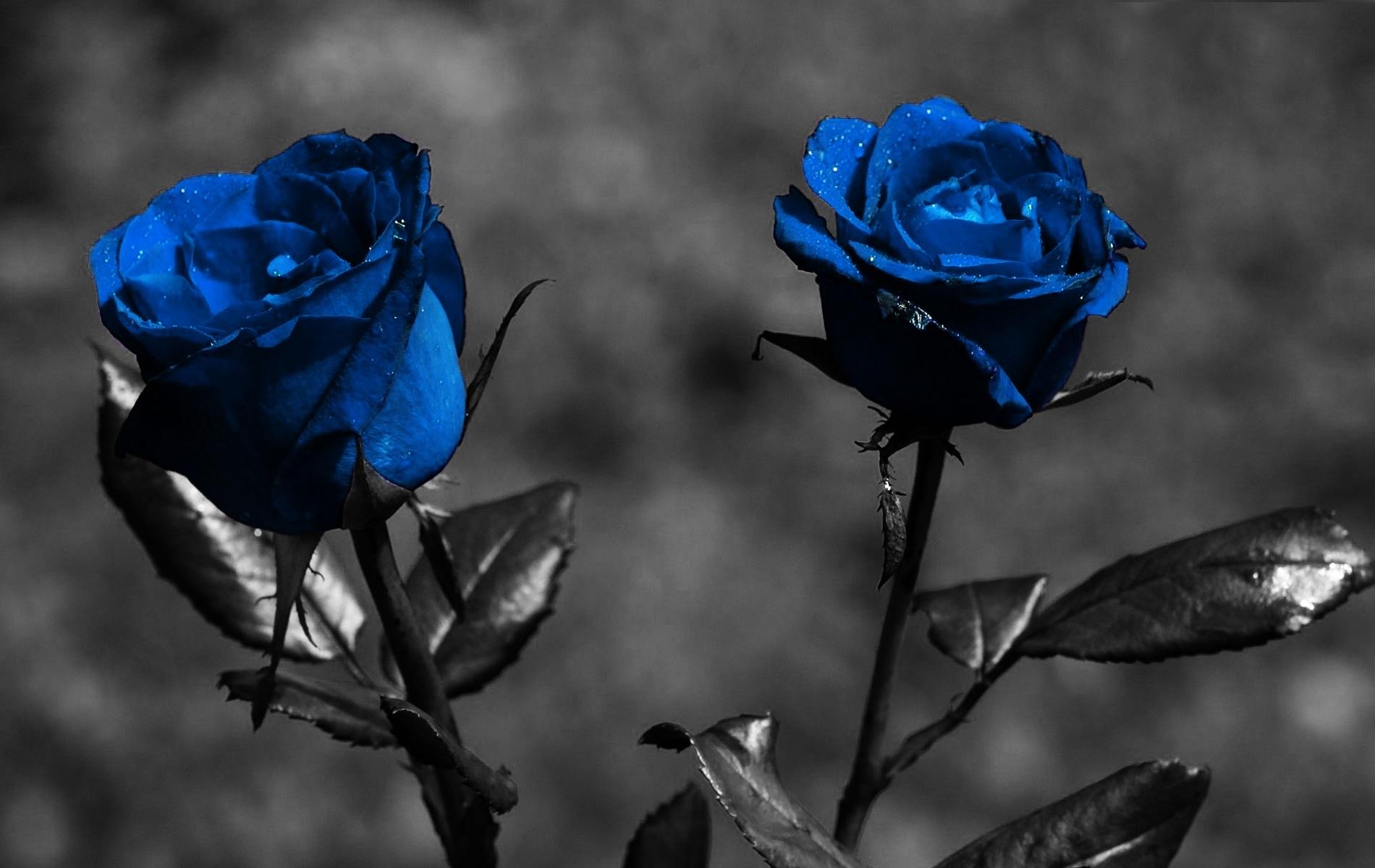 blue rose wallpaper hd   pixelstalk
