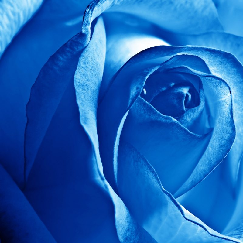 10 New Blue Rose Wallpaper Hd FULL HD 1080p For PC Desktop 2018 free download blue rose wallpapers hd wallpapers id 11663 800x800