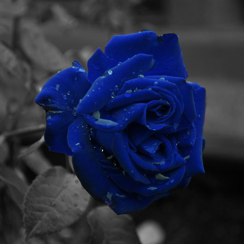 10 New Blue Rose Wallpaper Hd FULL HD 1080p For PC Desktop 2018 free download blue rose wallpapers wallpaper cave 800x800