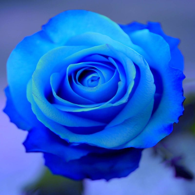 10 New Blue Roses Images Free FULL HD 1920×1080 For PC Background 2020 free download blue roses hd 29657 1600x1200 px hdwallsource 800x800