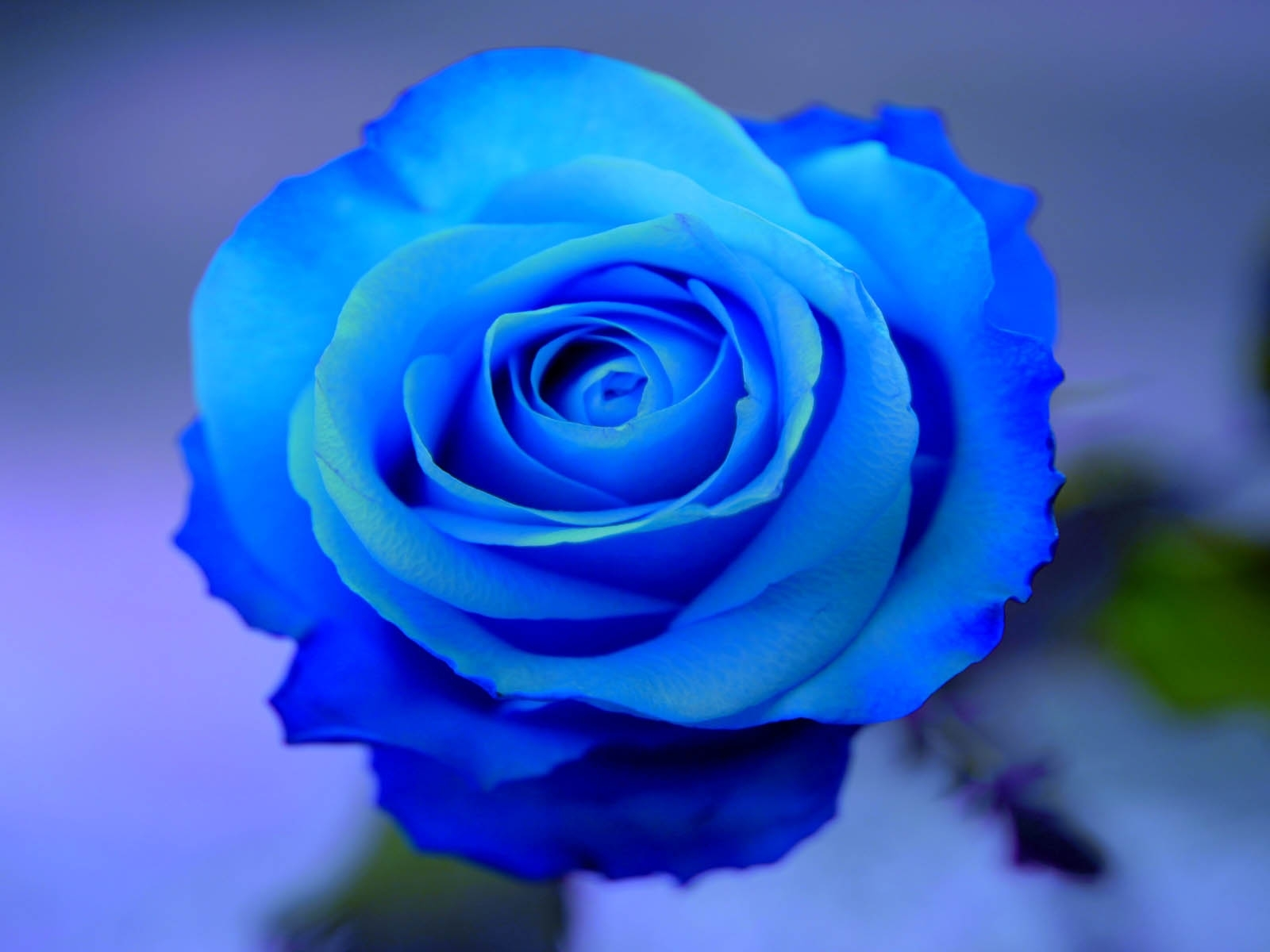 blue roses hd 29657 1600x1200 px ~ hdwallsource