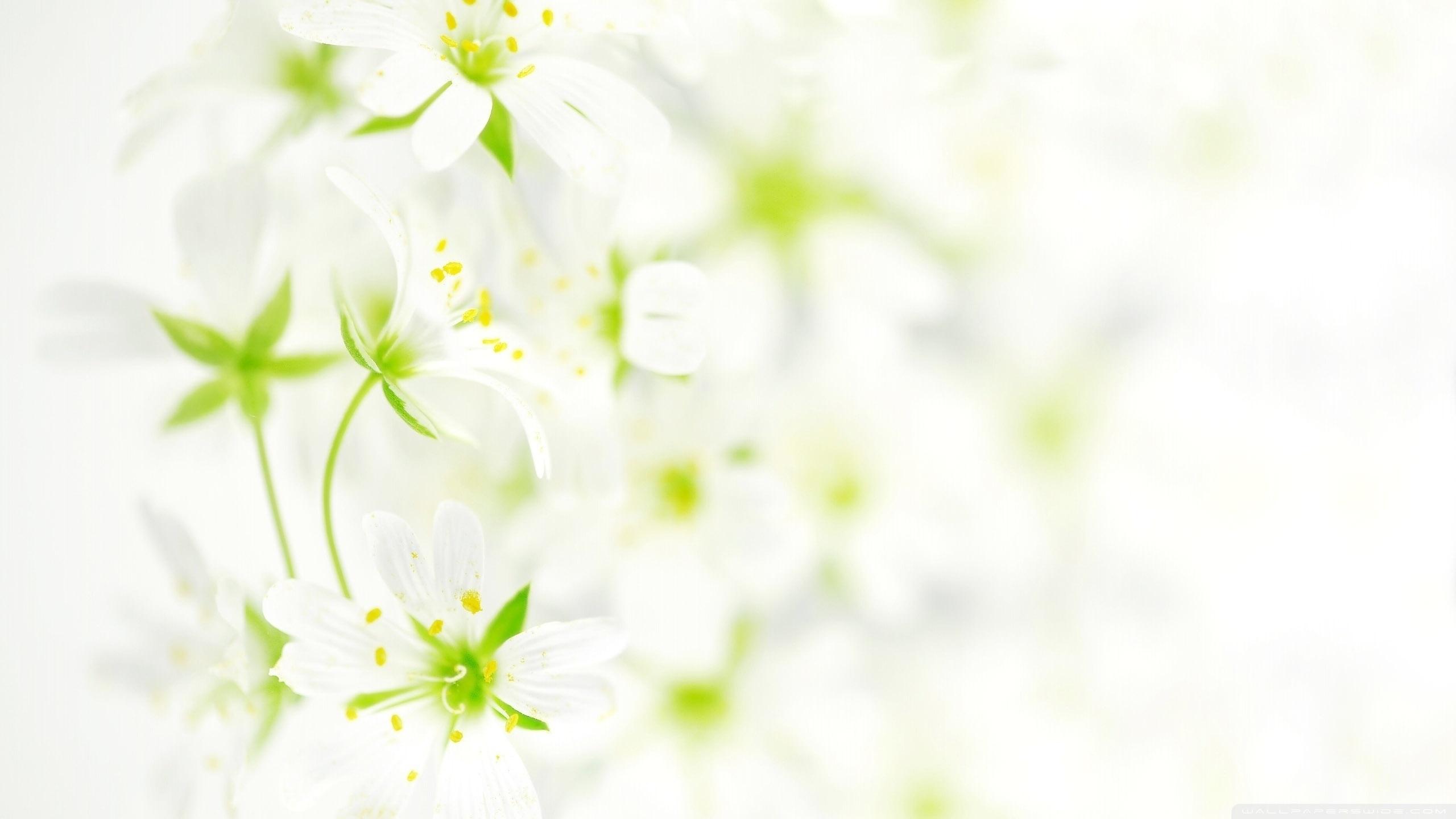 blurred white flowers ❤ 4k hd desktop wallpaper for 4k ultra hd tv