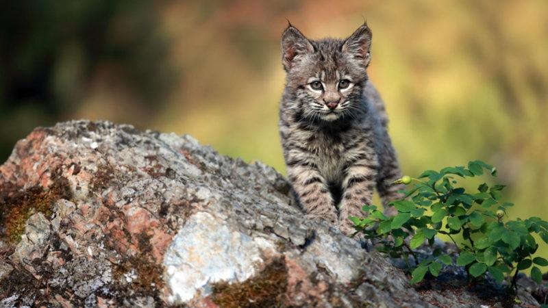 10 New Image Of Bobcat FULL HD 1080p For PC Desktop 2021 free download bobcat animal profile 800x450